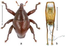 Figure 82. Trigonopterus singkawangensis Riedel, sp. n., holotype; a Habitus b Penis.