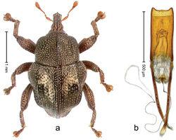 Figure 84. Trigonopterus sinuatus Riedel, sp. n., holotype; a Habitus b Penis.
