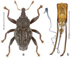 Figure 85. Trigonopterus squalidus Riedel, sp. n., holotype; a Habitus b Penis.