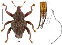 Figure 86. Trigonopterus sumatrensis Riedel, sp. n., holotype; a Habitus b Penis.