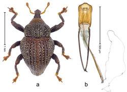 Figure 87. Trigonopterus sumbawensis Riedel, sp. n., holotype; a Habitus b Penis.