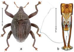 Figure 93. Trigonopterus tiga Riedel, sp. n., holotype; a Habitus b Penis.