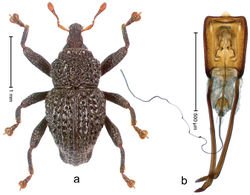 Figure 97. Trigonopterus variolosus Riedel, sp. n., holotype; a Habitus b Penis.