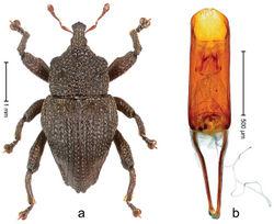 Figure 98. Trigonopterus vulcanicus Riedel, sp. n., holotype; a Habitus b Penis.
