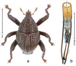 Figure 99. Trigonopterus wallacei Riedel, sp. n., holotype; a Habitus b Penis.