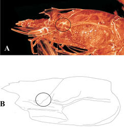 Figure 3. Benthesicymus tanneri Faxon, 1893. A Lateral view of syntypic specimen (MCZ-4662) B Lateral view of female (CL 40.6 mm) (EMU-10436). Circles indicate area where a hepatic spine is observed in some species of the genus.