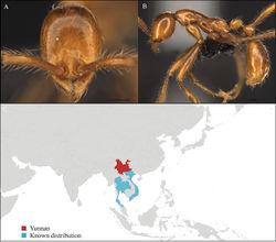 Figure 1. Aenictus artipus worker, CASENT0717199. A Head in front view B Mesosoma in profile view C Global distribution map.