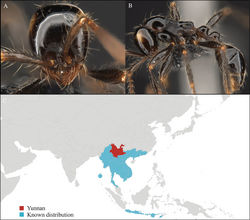 Figure 2. Aenictus hodgsoni worker, CASENT0716190. A Head in front view B Mesosoma in profile view C Global distribution map.