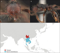 Figure 4. Aenictus paradentatus worker, CASENT0716195. A Head in front view B Mesosoma in profile view C Global distribution map.