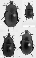Figures 5–8. Habitus of Ablattaria laevigata in dorsal view: 5 female (Croatia: Pula) 6 male (Austria: Elenderwald) 7 female (Greece: Loutraki) 8 female (Italy: Pioppi).