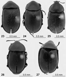 Figures 23–27. 23–26 Lectotypes of Ablattaria spp. in dorsal view: 23 Phosphuga arenaria Kraatz 24 Ablattaria arenaria var. punctigera Reitter 25 Silpha cribrata Ménétries 26 Ablattaria gibba var. punctata Portevin 27 Ablattaria subtriangula Reitter, paralectotype.