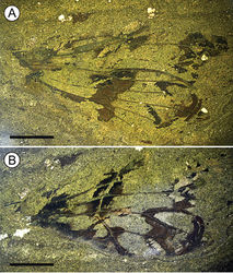 Figure 3. Photomicrographs of Paratettigarcta zealandica gen. et sp. n., holotype OU45476, fore and hindwing A part and B counterpart (mirror inverted), photographed under ethanol. Scale bar: 5 mm.