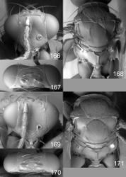 Figures 166–171. Euplectrus spp., females. 166–168 Euplectrus carlrettenmeyeri (DHJPAR0046912): 166 head in frontal view 167 vertex 168 mesosoma in dorsal view; 169–171 Euplectrus garygibsoni (DHJPAR0042124): 169 head in frontal view 170 vertex 171 mesosoma in dorsal view.
