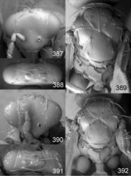 Figures 387–392. Euplectrus spp., females. 387–389 Euplectrus johnlasallei (DHJPAR0028927): 387 head in frontal view 388 vertex 389 mesosoma in dorsal view; 390–392 Euplectrus hansoni (non-type, no codes): 390 head in frontal view 391 vertex 392 mesosoma in dorsal view.
