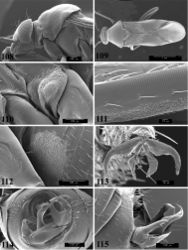 Figures 108–115. SEM photomicrographs of Pilophoropsidea camela, male. 108 head and pronotum, lateral aspect 109 head and pronotum, dorsal aspect 110 ostiolar evaporative area 111 stridulitrum on costal margin of hemelytron 112 glaucous patch (made of many tiny trichomes) at base of abdomen 113 pretarsus 114 genital capsule, caudal aspect 115 genital capsule, lateral aspect.