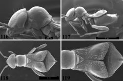 Figures 116–119. SEM photomicrographs of Pilophoropsidea camela, female. 116 head and pronotum, lateral aspect 117 full lateral aspect 118 full dorsal aspect 119 dorsal aspect of hemelytra and abdomen.