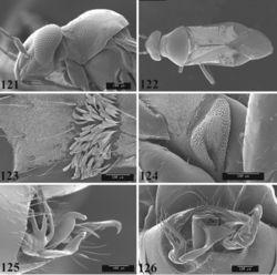 Figures 121–126. SEM photomicrographs of Pilophoropsis brachyptera, male. 121 head and pronotum, lateral aspect 122 full dorsal aspect 123 scale-like setae on hemelytron 124 ostiolar evaporative area 125 genital capsule, lateral aspect 126 genital capsule, caudal aspect.