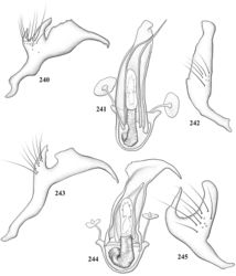 Figures 240–245. Male genitalia of Pilophoropsidea spp. 240–242: Pilophoropsidea pueblaensis 240 left paramere 241 phallotheca and endosoma 242 right paramere, caudal aspect 243–245: Pilophoropsidea schaffneri 243 left paramere 244 endosoma and phallotheca 245 right paramere, caudal aspect.