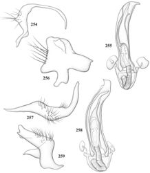 Figures 254–259. Male genitalia of Pilophoropsidea spp. 254–256: Pilophoropsidea truncata 254 left paramere, caudal aspect 255 phallotheca and endosoma 256 right paramere, caudal aspect 257–259: Pilophoropsidea tuberculata 257 left paramere, caudal aspect 258 endosoma and phallotheca 259 right paramere, caudal aspect.