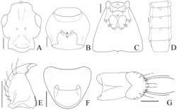 Figure 2. Pseudoexeirarthra spinifer (Broun): A head, dorsal view B prosternum, ventral view C meso- and metaventrite, ventral view D abdomen, dorsal view E left mandible, dorsal view F female sternite VIII, dorsal view G female sternite IX, ventral view. Scale bars = 0.1 mm.