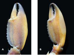 Figure 5. Cherax (Astaconephrops) pulcher sp. n. holotype male (RMNH.CRUS.D.57217) A right first chela, dorsal aspect B left first chela, ventral aspect.