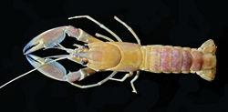 Figure 6. Cherax (Astaconephrops) pulcher sp. n., paratype female (RMNH.CRUS.D.57218).