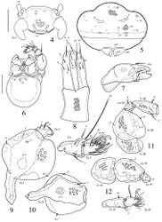 Figures 4–12. Scapheremaeus gibbus sp. n., adult: 4 frontal view of prodorsum (legs I except basal parts not shown) 5 posterior view 6 subcapitulum and palp 7 chelicera, antiaxial view 8 ovipositor 9 leg I, without trochanter, right, antiaxial view 10 femur of leg II, left, paraxial view 11 leg III, without tarsus, left, antiaxial view 12 leg IV, left, antiaxial view. Scale bars 50 µm (4, 5), 20 µm (6–12).
