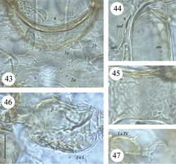 Figures 43–47. Scapheremaeus luxtoni sp. n., dissected adult, microscope images: 43 sculpture on anterior part of epimeral region 44 anterior part of right anal plate 45 sculpture between genital and anal apertures 46 femur I, left, paraxial view 47 tarsus IV, left, antiaxial view. Scale bar 20 µm.