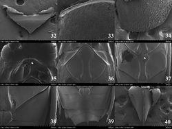 Figures 32–40. Orectochilus villosus. 32 scutellum (dorsal aspect) 33 basal part of elytron (dorsal aspect) 34 apical part of elytron (dorsal aspect) 35 prosternum (ventral aspect) 36 mesoventrite (ventral aspect) 37 metaventrite (ventral aspect) 38 sternite II (ventral aspect) 39 sternites III-VII (ventral aspect) 40 sternite VIII (ventral aspect).