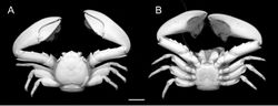Figure 2. Petrolisthes inermis (Heller, 1862). Dorsal (A) and ventral (B) views of female RMNH.CRUS.D.56417, Ambon, Indonesia. Scale bar - 5 mm.
