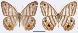 Figure 2. Euptychia attenboroughi sp. n. holotype male, dorsal (left) and ventral (right). FW length: 18.0 mm. BMNH collection. Photos by Andrew Neild, Trustees of the Natural History Museum, London. Scale bar: 10 mm.