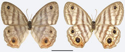 Figure 3. Euptychia attenboroughi sp. n. paratype female, dorsal (left) and ventral (right). FW length: 16.0 mm. AN collection. Photos by Andrew Neild. Scale bar: 10 mm.