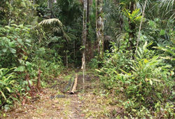 Figure 10. Seasonally inundated lowland tropical rainforest habitat with a predominance of Mauritia palms (Arecaceae) in the northern Serra do Divisor National Park. Photo by Diego R. Dolibaina.