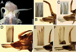 Figure 2. Lepidasthenia loboi sp. n. A Paratype (ECOSUR 177b), anterior end, dorsal view, first two pairs of elytra removed B Paratype (ECOSUR 177a), chaetiger 2, right parapodium, anterior view (inset: neurochaetal tips) C Same, chaetiger 9, right parapodium, anterior view (inset: neurochaetal tips) D Same, chaetiger 29, right parapodium, anterior view (inset: neurochaetae) E Same, chaetiger 59, right parapodium, anterior view, larger chaetae broken (inset: neurochaetae) F Same, chaetiger 80, right parapodium, anterior view (inset: neurochaetae). Bars: 0.1 mm (A), 40 µm (B–D), 45 µm (E), 25 µm (F).