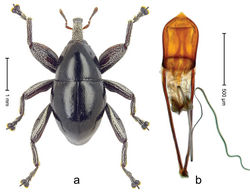Figure 5. Trigonopterus australinasutus sp. n., holotype; a Habitus b Penis.