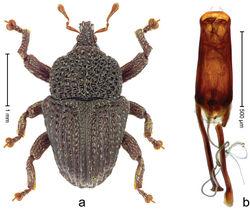 Figure 6. Trigonopterus australis sp. n., holotype; a Habitus b Penis.