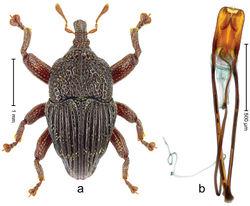 Figure 8. Trigonopterus bisinuatus sp. n., holotype; a Habitus b Penis.