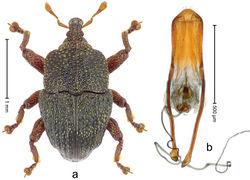 Figure 9. Trigonopterus boolbunensis sp. n., holotype; a Habitus b Penis.