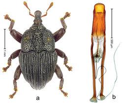 Figure 16. Trigonopterus garradungensis sp. n., holotype; a Habitus b Penis.
