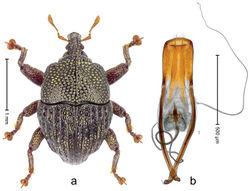 Figure 18. Trigonopterus hartleyensis sp. n., holotype; a Habitus b Penis.