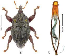 Figure 19. Trigonopterus kurandensis sp. n., holotype; a Habitus b Penis.