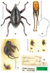 Figure 20. Trigonopterus laetus (Lea), male lectotype; a Habitus b Penis c as mounted originally d original labels.