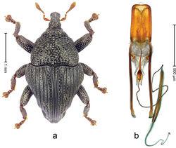 Figure 23. Trigonopterus monteithi sp. n., holotype; a Habitus b Penis.