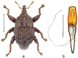 Figure 26. Trigonopterus robertsi sp. n., holotype; a Habitus b Penis.