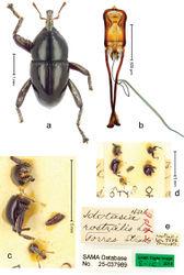 Figure 27. Trigonopterus rostralis (Lea), male lectotype; a Habitus b Penis c as mounted originally d original labels.