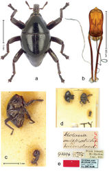 Figure 28. Trigonopterus sculptirostris (Lea), male lectotype; a Habitus b Penis c as mounted originally d original labels.