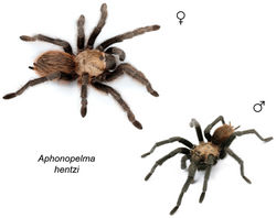 Figure 50. Aphonopelma hentzi (Girard, 1854) specimens, live photographs. Female (L) - APH_0576; Male (R) - APH_3216.