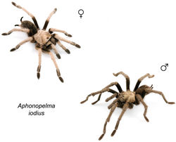 Figure 61. Aphonopelma iodius (Chamberlin & Ivie, 1939) specimens, live photographs. Female (L) - APH_3201; Male (R) - APH_3202.