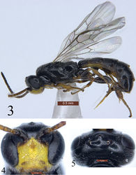 Figures 3–5 Trieces etuokensis Sheng, sp. n. Holotype. Female 3 Habitus, lateral view 4 Head, anterior view 5 Head, dorsal view. Scale bars: 0.5 mm (3); 0.1 mm (4, 5).