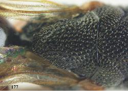 Figure 177. Oxycoryphe neotenax sp. n., ♀, holotype, scutellum dorsal.